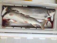 big_trout.jpg