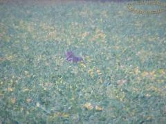 coyote_100236.JPG